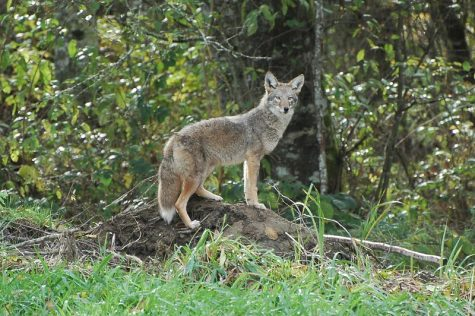 Coyotes a threat to pets in Wayland