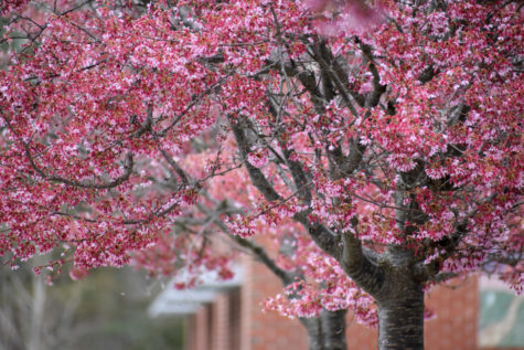 A row of flowering cherry trees blooms in the WHS courtyard next to the Commons.